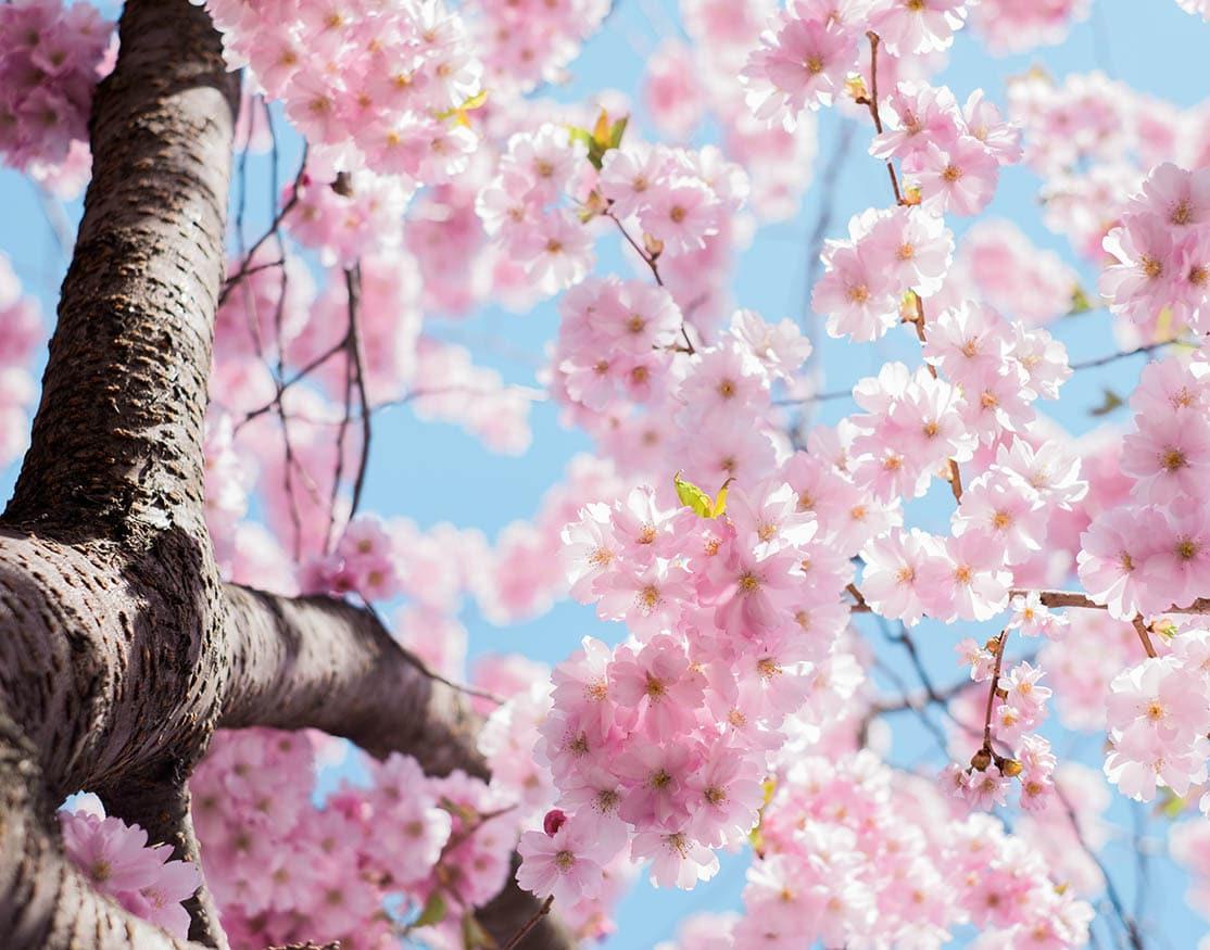 Printemps fleurs de cerisier - le petit faire-part de nelly